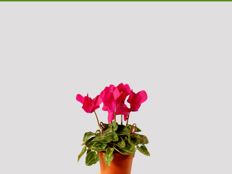 All About Cyclamen Dormancy Care