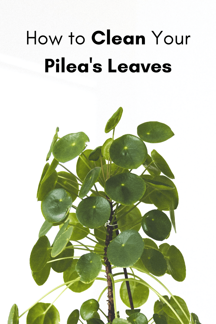 How to clean your pilea's leaves