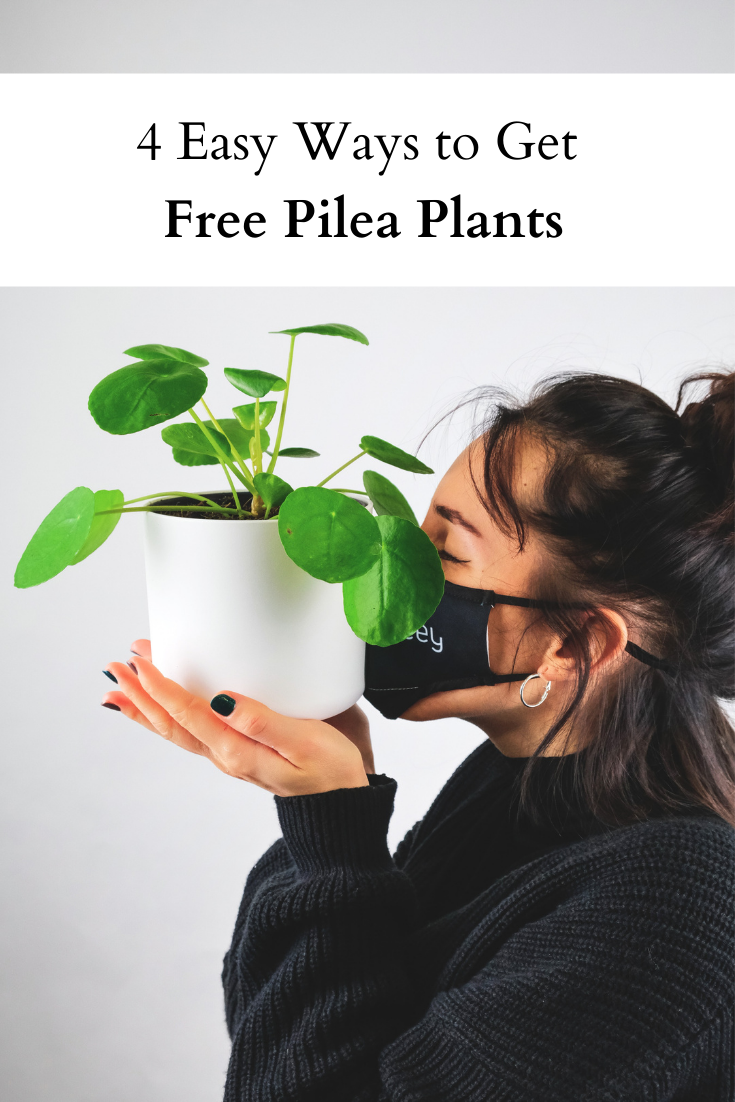 4 ways to get free pilea plants