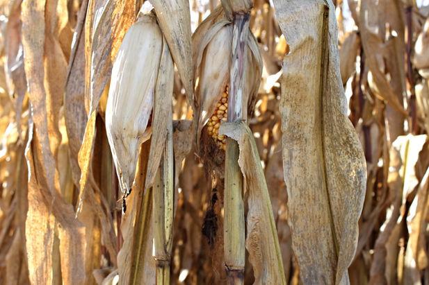 llinois Crop Insurance, Ilinois crop-hail insurance, Illinois MPCI, corn insurance, soybean insurance, Lanark farm insurnace, illinois multi peril crop insurance