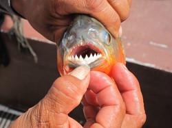 Piranha teeth