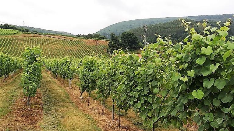 Bodega y viñedo de albariño de Cantabria