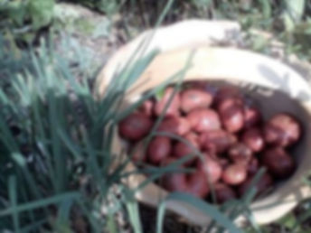patatas ecologicas.jpg