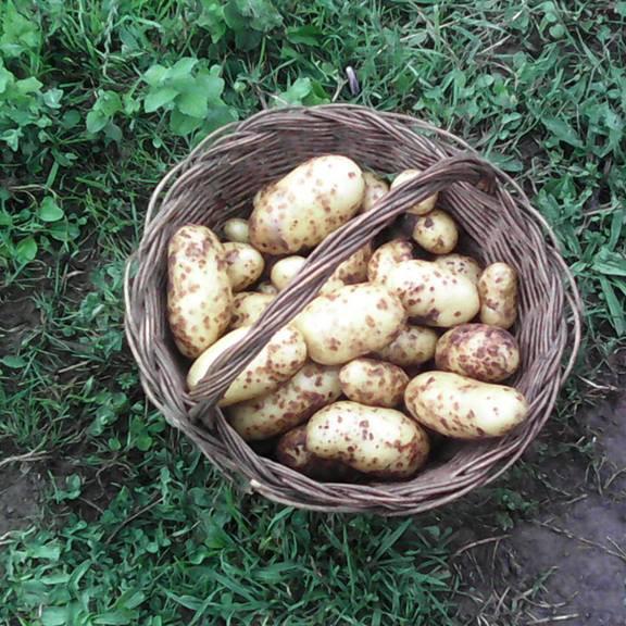 Cosecha de patatas ecológicas