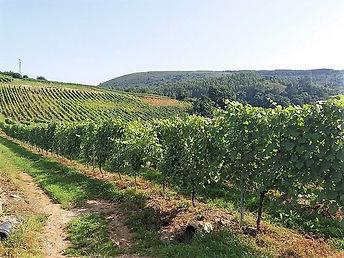 Viñedo de uva albariño en Cantabria