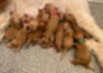 CarlineLitterPuppies32020.jpg