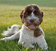 non shedding parti labradoodle puppy in Illinois