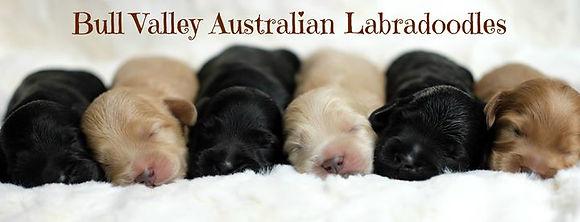 red caramel black labradoodle puppies