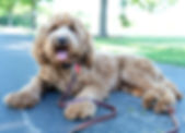 red allergy friendly labradoodle in the midwest