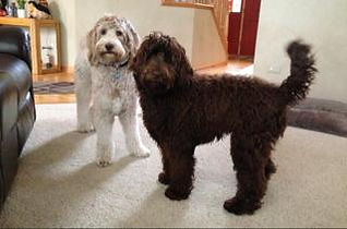 chocolate and parchment labradoodles