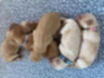 Lavender_Australian_Labradoodle_Puppies_