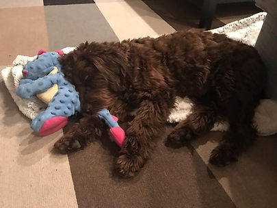 sleeping chocolate labradoodle puppy