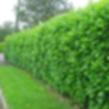 Laurel-hedge-11.jpg