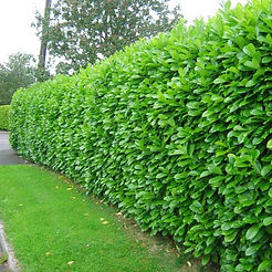 Laurel-hedge-11.jpg