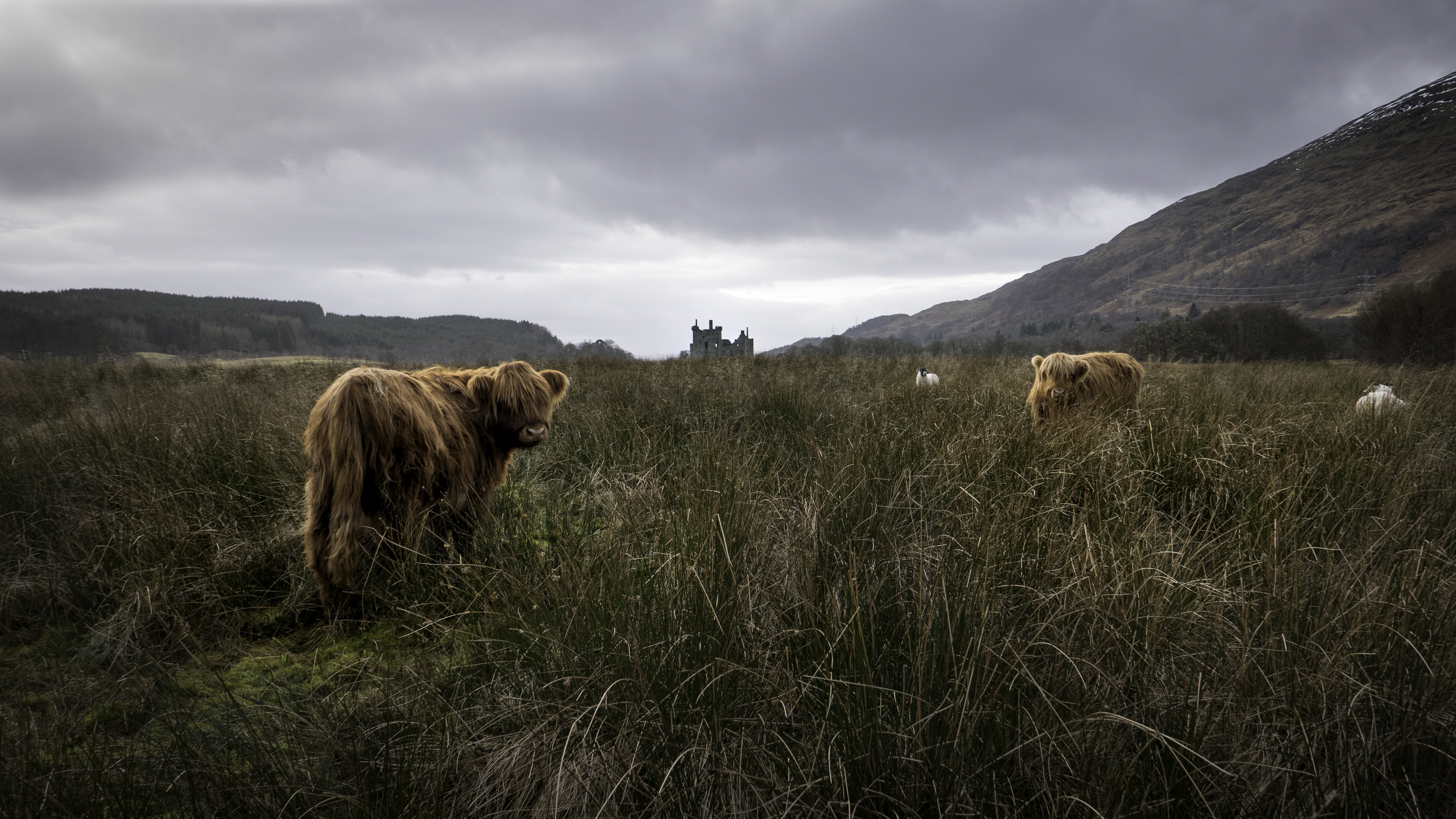 Highland Cows and Castle Ruins