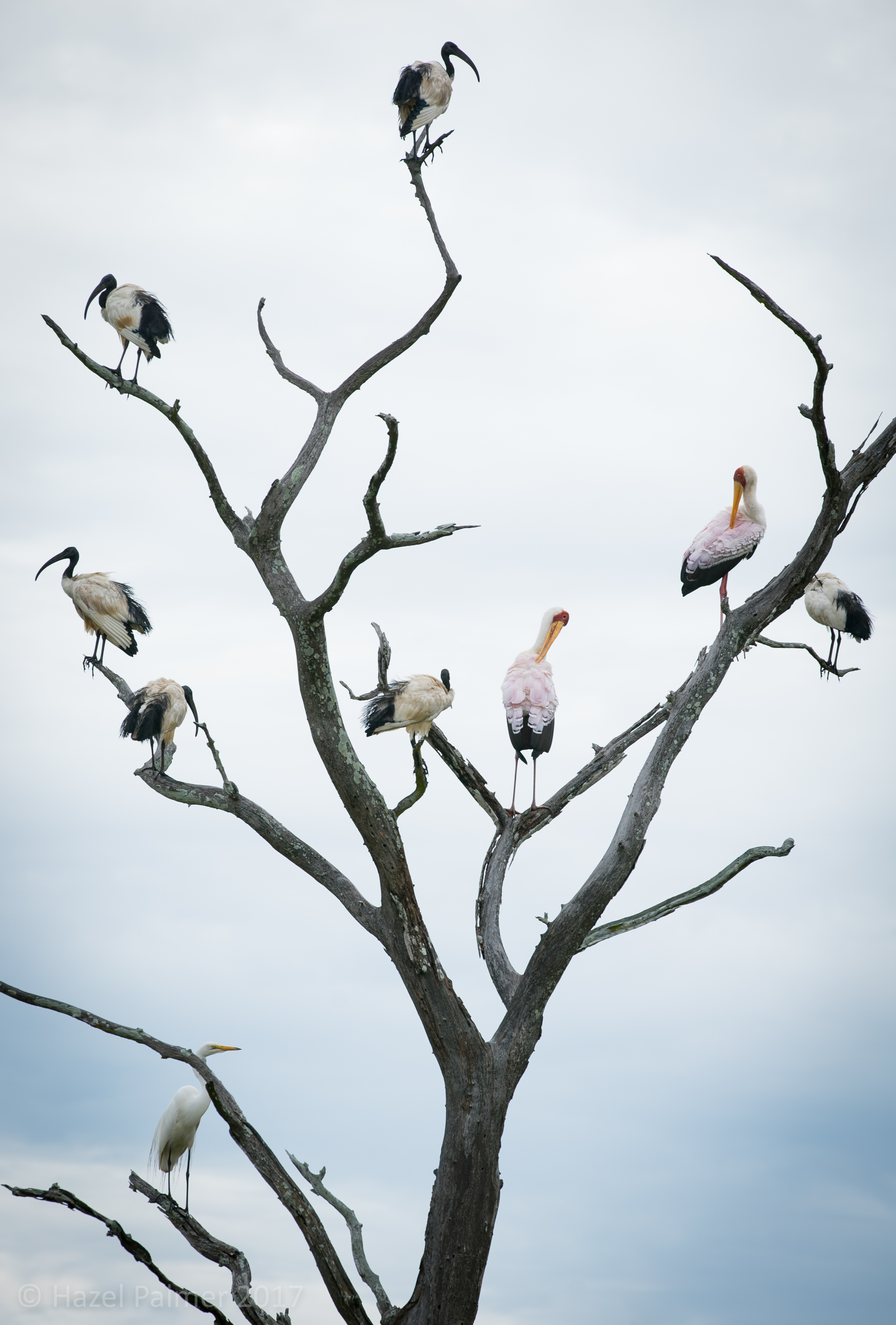 Ibis and Storks