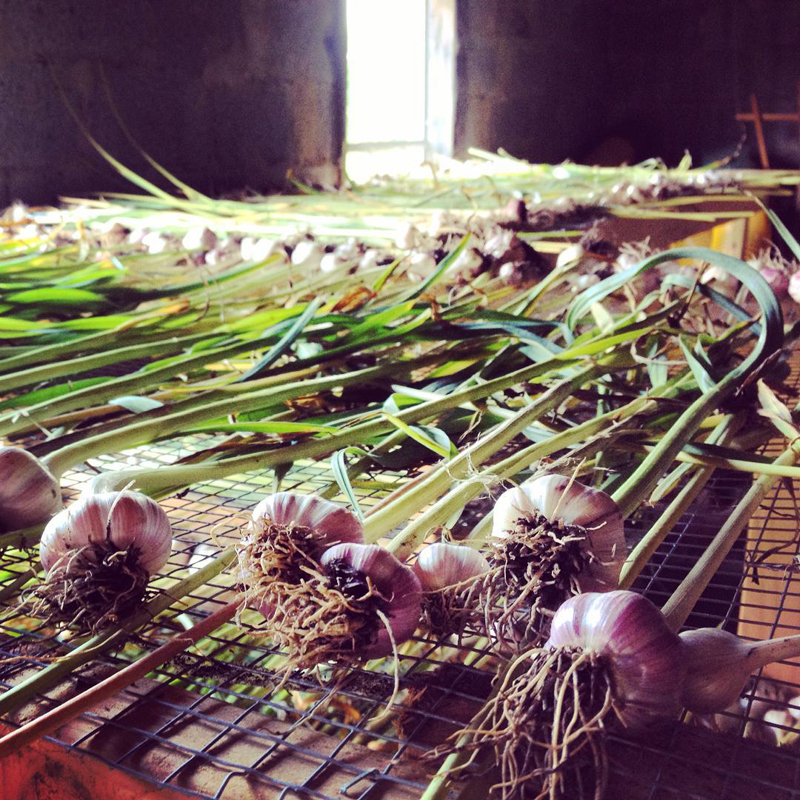 Garlic set up to dry August 2015