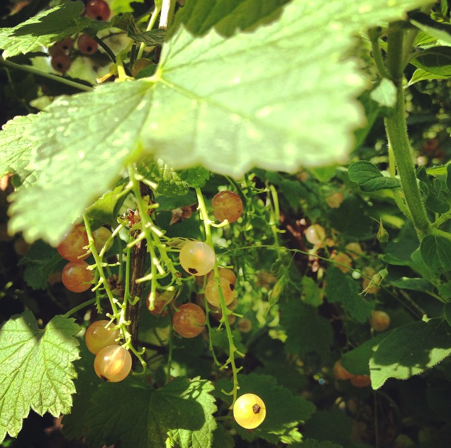 Pink Champagne Currants July 2015