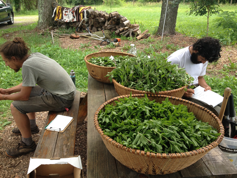 Mint Harvest July 2015
