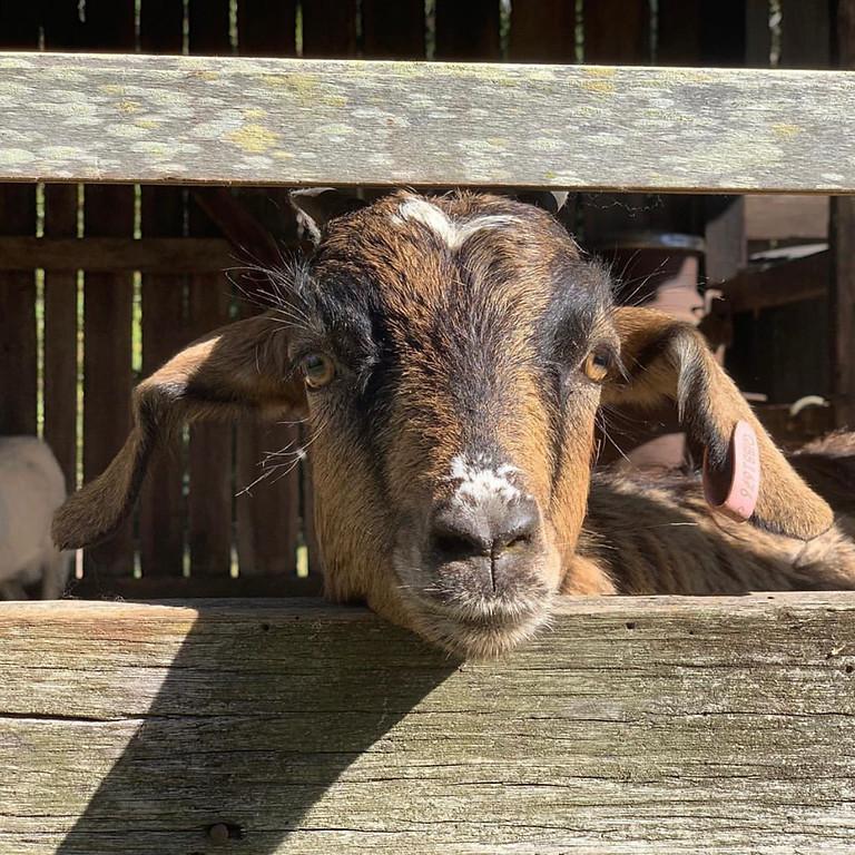 Rescue Goat Yoga