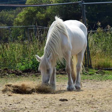 Misty is enjoying her hay