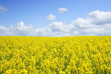 field-of-rapeseeds-474558_1280.jpg