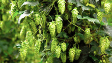 A sea(son) of green: Fresh Hopped Turbo Juice