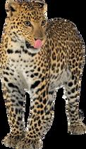 jaguar_PNG20734.png