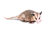 FAVPNG_virginia-opossum-the-opossum-roya