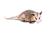 FAVPNG_virginia-opossum-the-opossum-roya