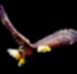 Bald-Eagle-PNG-Image_edited.png