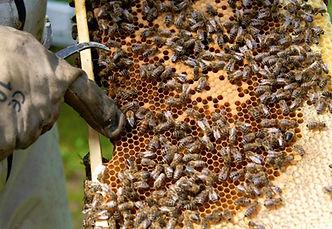 Bienen auf Waben, Honigbier