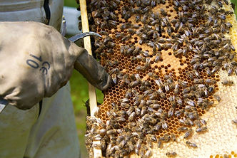 Bienenwaben_Hochlandimker.jpg