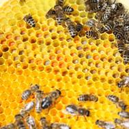 Honigbier_Image_Bienen (3).jpg