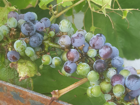 The Grapes Are On Their Way In!