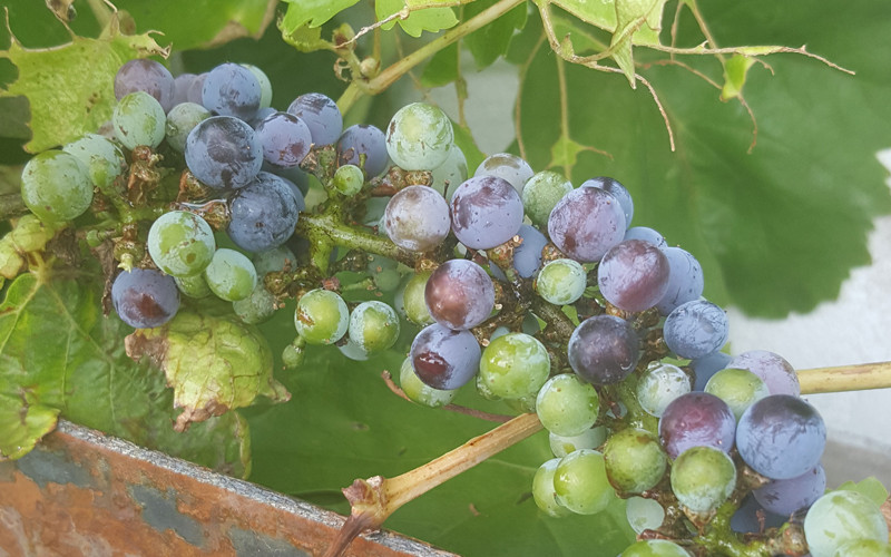Grapes On A Vine at Milo's Cellar