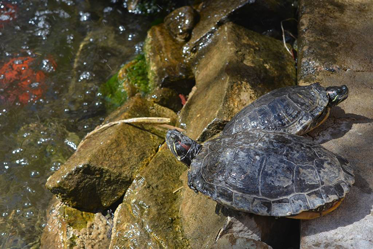 Pond Turtles in Courtyard at Milo's