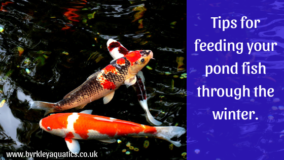 Feeding your Pond fish in the winter