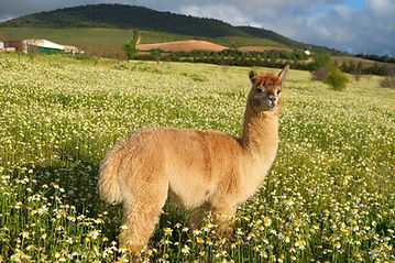 alpaca.jpg