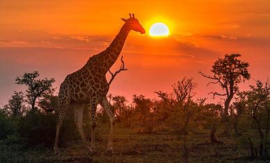 South Africa_Giraffe_lr.jpg