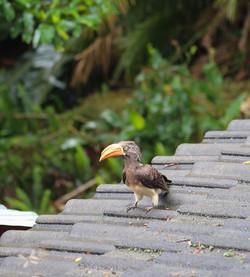 Hornbill at Pumula Retreat