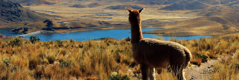 Lama-Peru.jpg