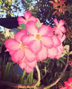 Balinese Flowers