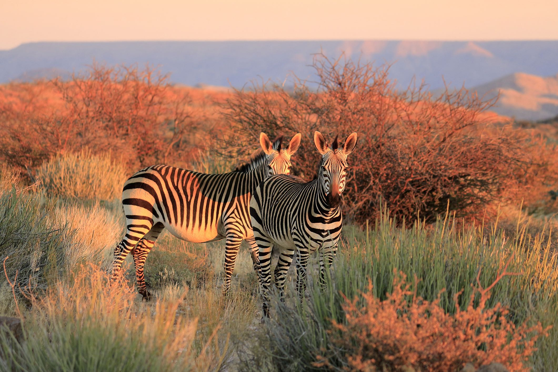 Zebras on South Africa Safari