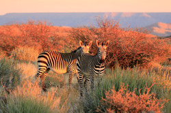 Zebras on South Africa Safari