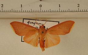 Haplonerita simplex mâle