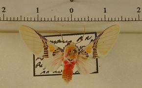 Idalus carinosa mâle