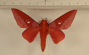 Adelowalkeria torresi mâle