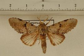 Malocampa maroniensis mâle