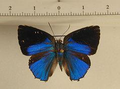 Theclinae sp1 mâle